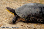 Blanding's turtle in grass